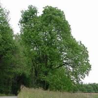 Sommaire des arbres - Taille d un chataignier ...